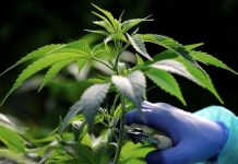 Israeli company to expand medical cannabis production
