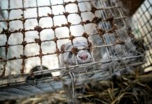 Days are numbered for Norway's fur farms