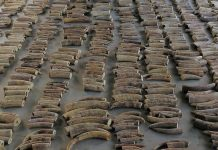 Largest ivory haul from DR Congo seized in Singapore