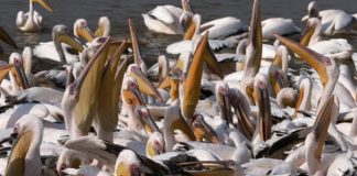 sky news africa Senegal restricts public access to major park following deaths of 750 pelicans